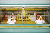 foto of hatcher  - Demonstration of chicken industrial incubator with soft toy chickens - JPG