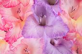 stock photo of gladiola  - Studio Shot of Red and Blue Colored Gladiolus Flowers Background - JPG