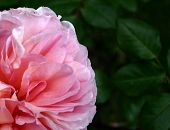 image of jekyll  - beautiful double pink rose in macro set against a dark background - JPG