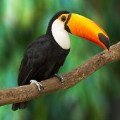 image of jungle exotic  - Toucan  - JPG