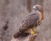 stock photo of hawk  - A Red-tailed hawk (Buteo jamaicensis) sitting on a stump.