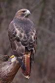 image of hawks  - A Red - JPG