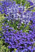 stock photo of lobelia  - Decorative blue flowers Lobelia erinus and Salvia Farinacea in the garden - JPG