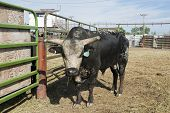 pic of chute  - Rodeo bull in a pen behind the chutes - JPG