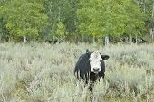 stock photo of sagebrush  - A cow grazes on the range of the sagebrush steppe of the North American Western High Country - JPG