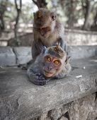 pic of macaque  - Macaques have fun  - JPG