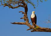 picture of fish-eagle  - Fish eagle in a tree on the banks of the Chobe River - JPG