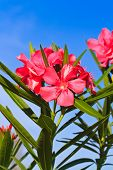 image of oleander  - Nerium oleander flowers in the garden against blue sky - JPG