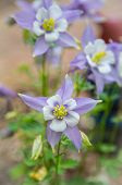 picture of columbine  - Columbines blooming fresh in the springtime - JPG