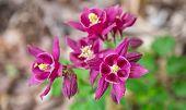 image of columbine  - Columbines blooming fresh in the springtime - JPG