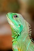 stock photo of terrarium  - colorful green lizard head close - JPG