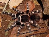 image of venomous animals  - Large tarantula acanthoscurria geniculata in natural environment - JPG