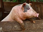 stock photo of farm  - Pork - JPG