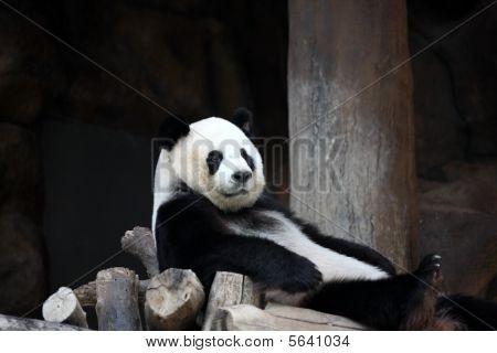 ChuangChuang Panda Chiangmai