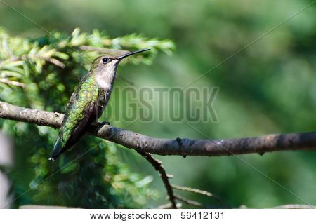 Ruby Throated Hummingbird Perched In A Tree