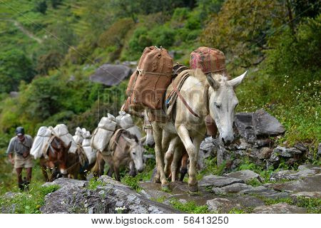 A Shepherd With A Caravan Of Donkeys Carrying Heavy Supplies