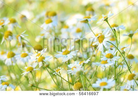 Chamomilla Flowers On Meadow