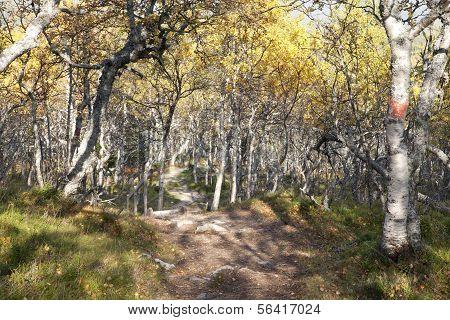 Pathway down through the birch forest.
