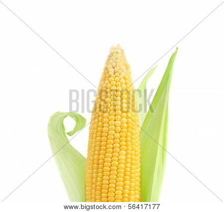 Fresh big raw corncob