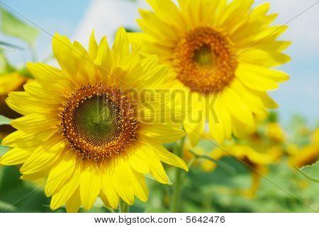 couple sunflowers background