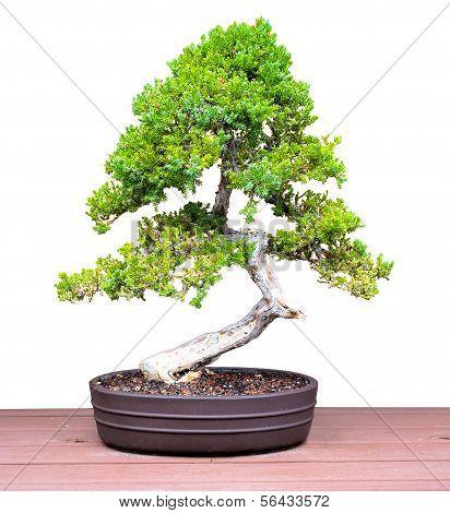 Bonsai Jacaranda Pine Tree on a Table Isolated on a White Background