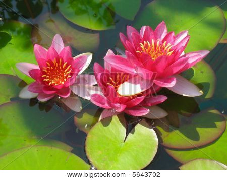 Beautiful Blooming Red Water Lily Lotus Flower With Green Leaves
