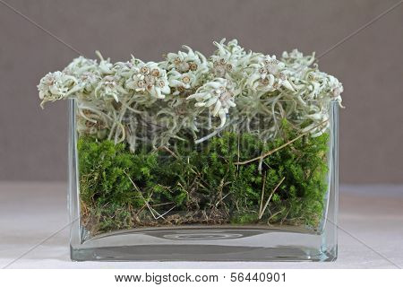 A vase of mountain flower - Edelweiss (Leontopodium alpinum) in Austria