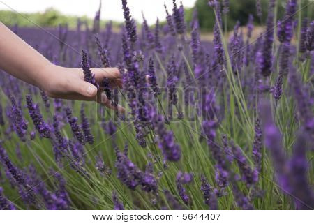 Childs Hand Running Through Lavender Fields