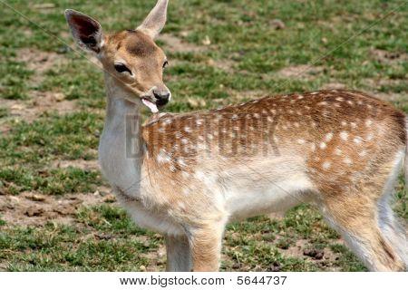 Young deer eating