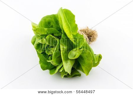 Butterhead Salad.