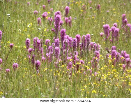A Flock Of Red Clover.