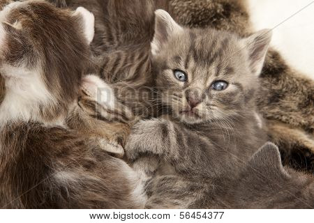 Gray Tabby Cat Young