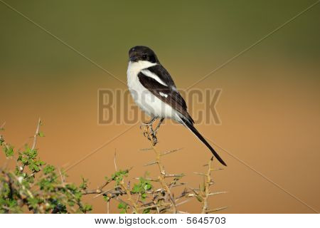 Fiscal Shrike, South Africa