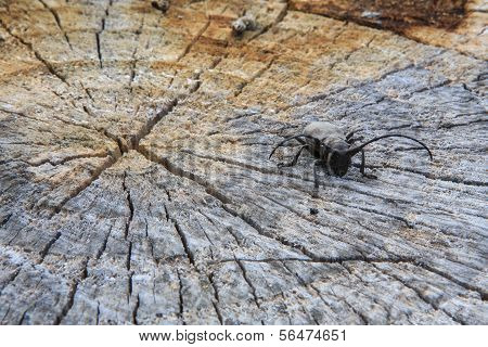 Beetle on cut tree
