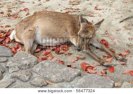 Itsukushima Deer