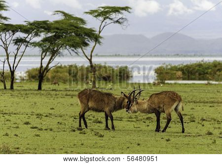 Fighting Antilopes
