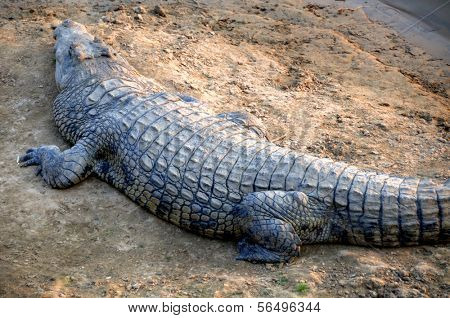 Crocodile in South Luangwa National Park, Zambia, Africa