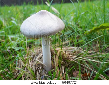 Volvariella Gloiocephala Or Big Sheath Mushroom
