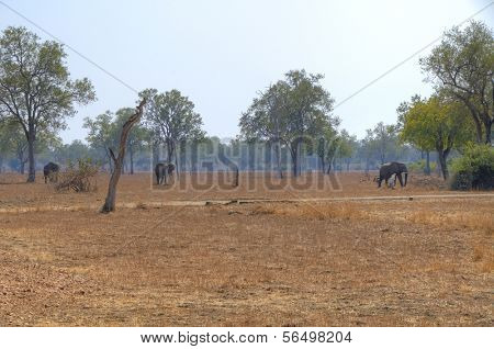 Elephants walking in South Luangwa National Park, Zambia, Africa
