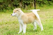 stock photo of akita-inu  - A profile view of a young beautiful white and red Akita Inu puppy dog standing on the lawn - JPG