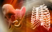 Pelvic girdle and rib cage poster
