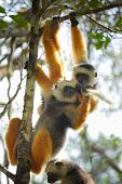 Diademed sifaka hanging on a tree's branch in a forest. Andasibe - Mantadia national park, Madagasca