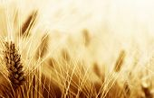 stock photo of fall-wheat  - Wheat field - JPG