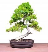 stock photo of bonsai  - Bonsai Jacaranda Pine Tree on a Table Isolated on a White Background - JPG