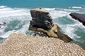 stock photo of gannet  - Gannet colony at the beach - JPG