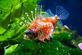 stock photo of lion-fish  - close - JPG