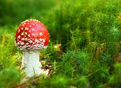 foto of agar  - The Fly Agaric or Fly Amanita  - JPG