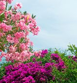 stock photo of oleander  - pink oleanders with purple flowers on the background - JPG