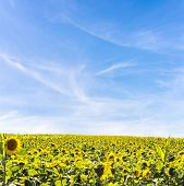 picture of heliotrope  - Field of heliotropic yellow sunflowers in summer sunlight with their heads turned to face the source of the sun as their seeds ripen to provide sunflower oil and animal fodder