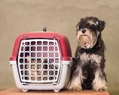 picture of schnauzer  - Tabby cat in pet carrier and Miniature Schnauzer sitting beside